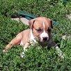 Щенки американского стаффордширского терьера в питомнике по цене 30000₽ - Собаки, фото 3