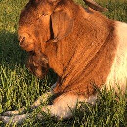 Сельскохозяйственные животные и птицы - Бурские козы, 0