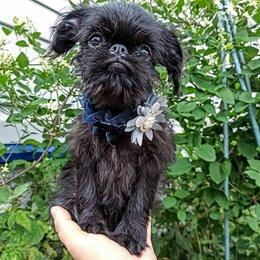 Собаки - Щенок бельгийкий гриффон черный мальчик. РКФ , 0