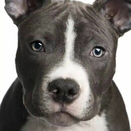 Собаки - Американский стаффордширский терьер, 0