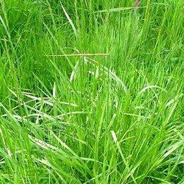 Семена - Овсяница луговая Сорта: свердловская 37, 0