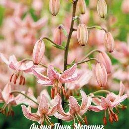 Луковичные растения - Лилия кудреватая Мартагон, 0