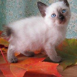 Кошки - Меконгский бобтейл, 0