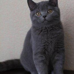 Кошки - Британская котята голубого окраса, 0