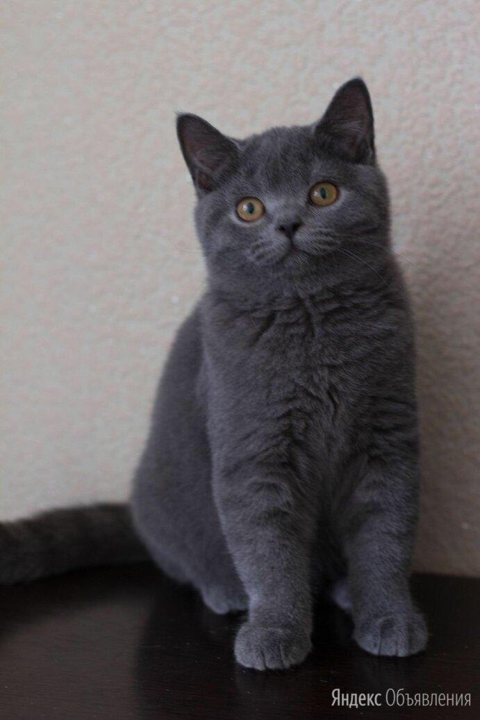 Британская котята голубого окраса по цене не указана - Кошки, фото 0