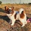 Папильон щенок , папийон девочка по цене 45000₽ - Собаки, фото 1