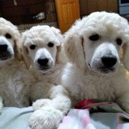 Собаки - Щенки королевского пуделя, 0