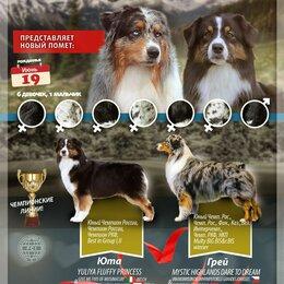 Собаки - Австралийская овчарка, щенки, 0