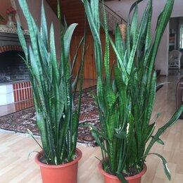 Комнатные растения - сансевиерия трехполосная и фикус мелколистный , 0