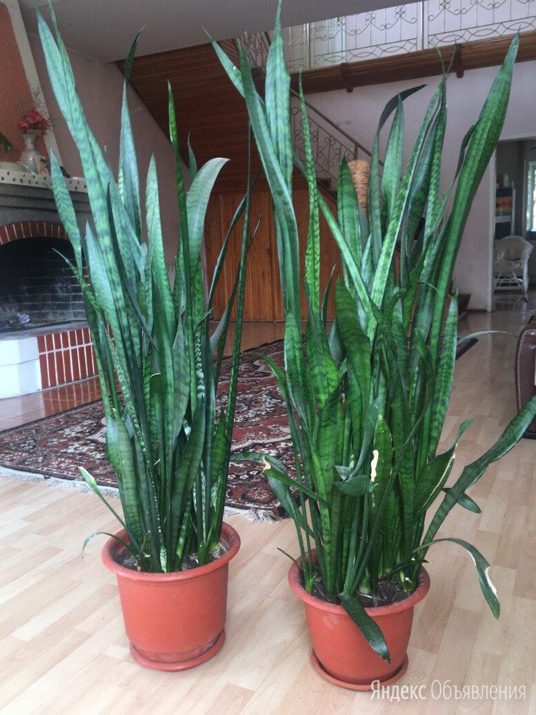 сансевиерия трехполосная и фикус мелколистный  по цене не указана - Комнатные растения, фото 0