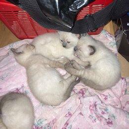Кошки - Домашние животные. Тайские Крошки!!! , 0