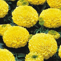 Семена - PanAmerican Seed Семена цветов Бархатцы отклоненные Марвел Еллоу 1000 шт, 0