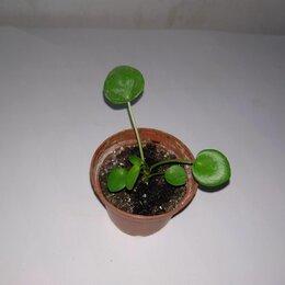 Комнатные растения - Пилея пеперомиевидная , 0