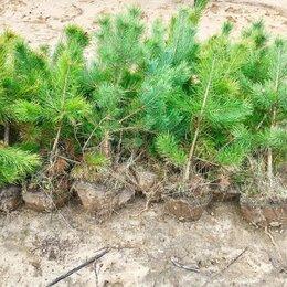 Рассада, саженцы, кустарники, деревья - Сосна саженцы с доставкой от 100 штук, 0
