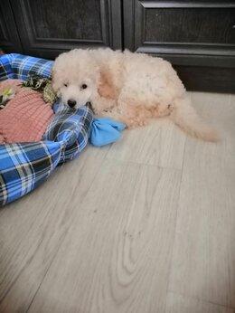 Собаки - 35тр. Щенок карликого  пуделя. М Кунцевская, 0