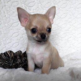 Собаки - Чихуахуа щенок мини мальчик Покоритель Сердец, 0