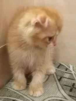 Кошки - Денежный котенок (золотая шиншилла), 0