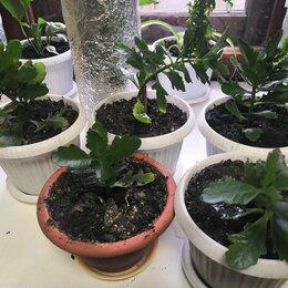 Комнатные растения - Каланхоэ Блоссфельда - красно-розовая , 0
