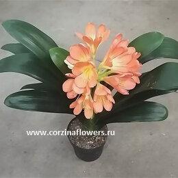 Комнатные растения - Кливия Миниата, киноварная,кафрская лилия 30-40 см, 0