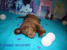 Собаки - Шоколадный мальчик, 0
