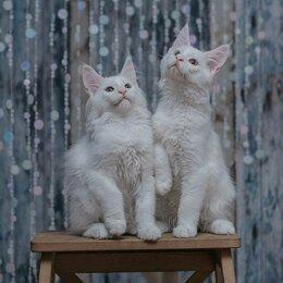 Кошки - Белоснежные  Мейн-куны, 0