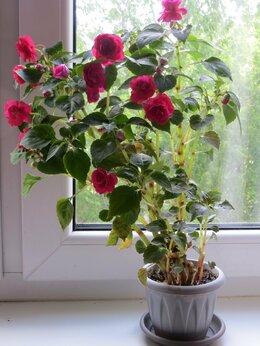 Комнатные растения - Бальзамин взрослый цветущий, 0