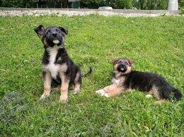 Собаки - Щенки 2 мес. метисы овчарки мальчики ищут дом, 0
