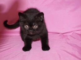 Кошки - Купить британского котенка в Саратове., 0