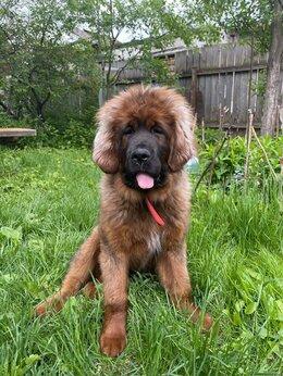 Собаки - Тибетский мастиф, 0