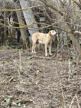 Собаки - Найдена охотничья собака, гончая, бежевого окраса, 0