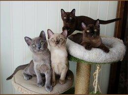 Кошки - Котята Американской Бурмы , 0