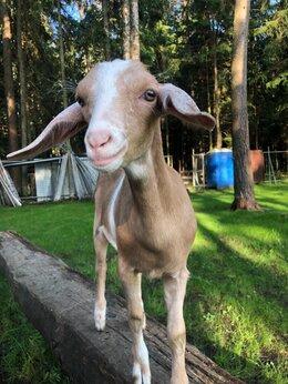 Сельскохозяйственные животные - Коза нубийская, 0