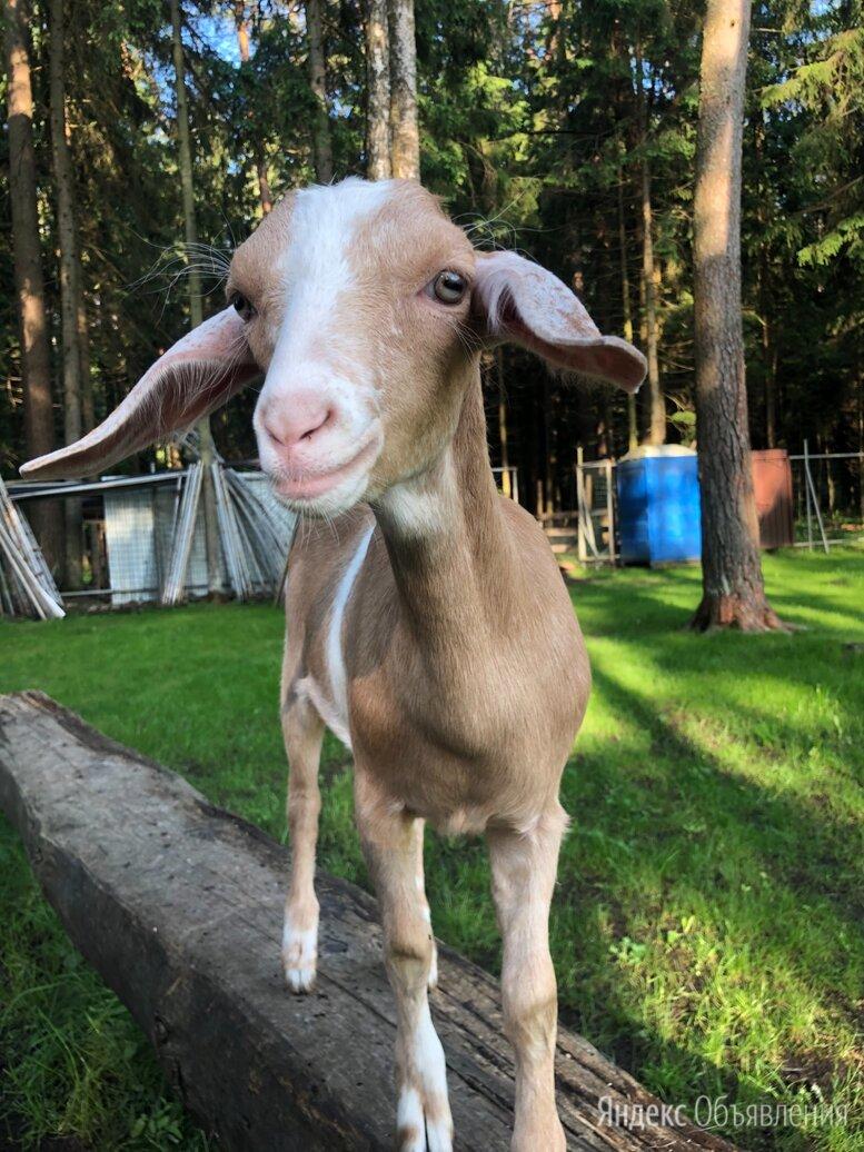 Коза нубийская по цене 5000₽ - Сельскохозяйственные животные и птицы, фото 0