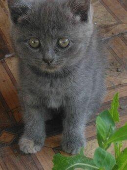 Кошки - Котята британцы, 0