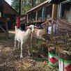 Коза нубийская по цене 5000₽ - Сельскохозяйственные животные и птицы, фото 5