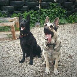 Собаки - Чистокровные щенки Восточноевропейской овчарки, 0