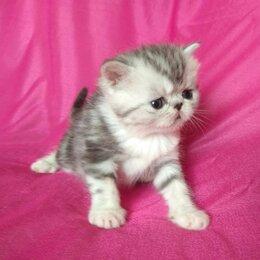 Кошки - Чистокровные экзотические котята, 0