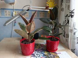 Комнатные растения - Фикусы Каучуконосные, 0