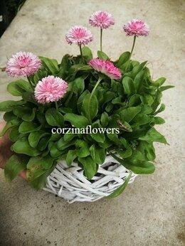 Цветы, букеты, композиции - Маргаритки в белом кашпо, 0