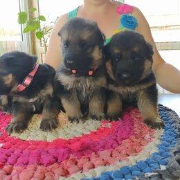 Собаки - Щенки мальчик и девочка, чистокровные, 0