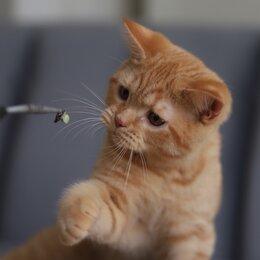Кошки - Породистые британские котята., 0