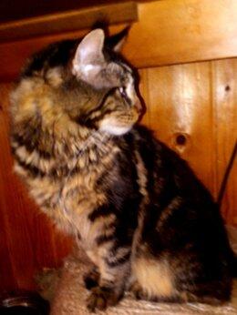 Кошки - Половозрелый ч/п котик 8 месяцев, 0