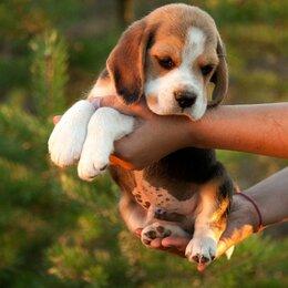 Собаки - Щенки БИГЛЯ, 0