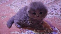 Кошки - Хайленд фолд голубого окраса, 0