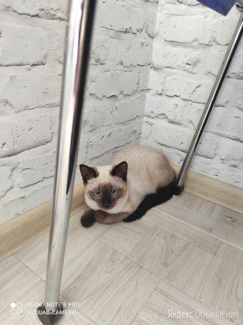 Сиамская кошка по цене даром - Животные, фото 0