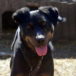 Собаки - Собака помесь ротвейлера,на цепь,вольер,компаньон, 0