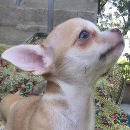 Собаки - щенки чихуахуа, 0