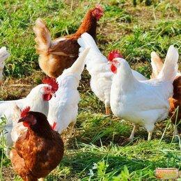 Сельскохозяйственные животные и птицы - Курочки , 0
