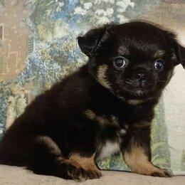 Собаки - Щенок чихуахуа , 0