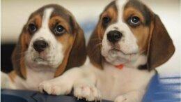 Собаки - Породные и красивые щенки Бигль, 0